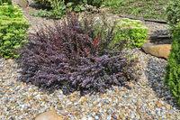 Dwarf purple bush of Berberis thunbergii atropurpurea, Atropurpurea Nana