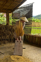 Young man threshing a sheaf of rice on a traditional threshing board, Luang Prabang, Laos