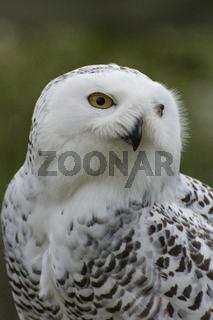 Schneeeule, Snowy Owl, Bubo scandiacus