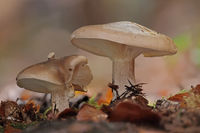 Cloud funnel (Clitocybe nebularis)