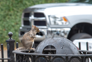 squirrel picking trash in a city