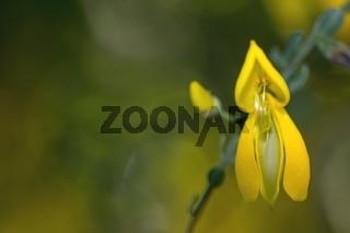 Yellow laburnum flower closeup
