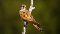 Common kestrel female with dark stripes on brown feathers looking over shoulder