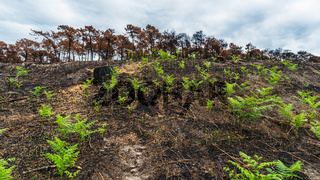 Young ferns grow after forest fire