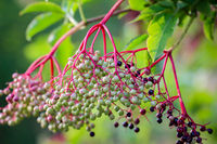 The fruits that are not yet ripe from an elderberry bush.