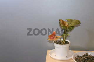 Syngonium Maria Allusion potted house plant