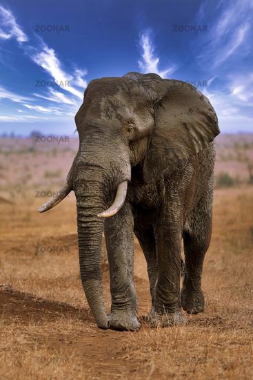 Elephant, Etosha National Park, Namibia, (Loxodonta africana) | elephant, Etosha National Park, Namibia, (Loxodonta africana)