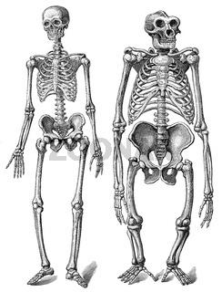 human skeleton gorilla skeleton