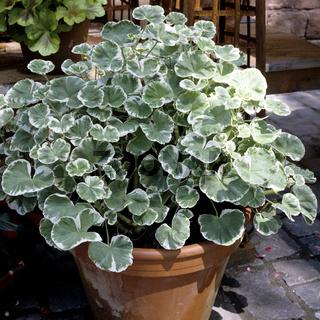 Schmuckblattgeranie, Pelargonium