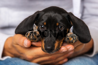 Cute dachshund puppy lying on human knees