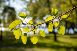 Poplar leaves in backlight, near the Dnieper River in Kiev
