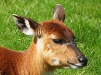 a full frame close up of the face of a baby banteng calf