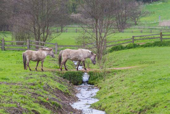 2 Tarpan horses crossing a small brook