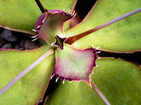 Long pointed spines at the edge of Walking Kalanchoe leaves