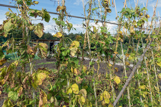 Allotment garden in autumn with wilted bean stakes