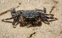 a small crab on the beach on the Pacific Ocean