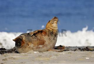 Kegelrobbe (Halichoerus grypus) auf Helgoland