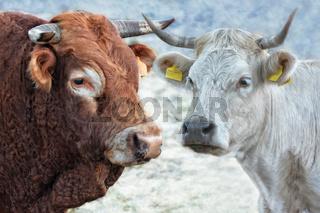 Bulle und Kuh auf Sardinien