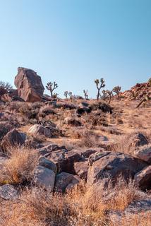 Joshua Tree, Yucca brevifolia, in Mojave Desert, Joshua Tree National Park, USA