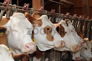 Cows standing in a cowshed