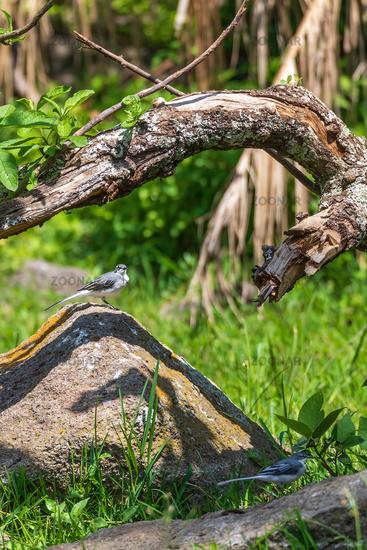 bird mountain wagtail Ethiopia Africa wildlife