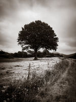 One tree in a field. Black and white photo