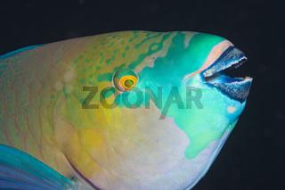 Rost-Papageifisch, Aegypten