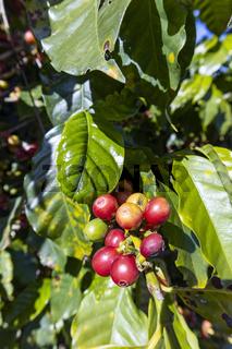 Coffee on a tree