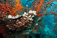 Riffseescheiden Atriolum robustum und rote Korallen