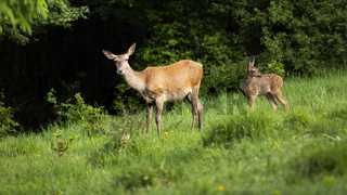 Cute red deer family with female and calf standing on green meadow