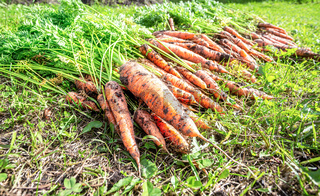 Harvested carrots drying on the green grass