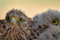 Common kestrel (chick) portrait at Lake Neusiedl