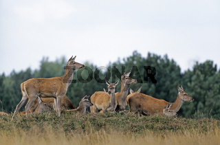Rottiere und Kaelber stehen sichernd auf einem Huegel mit Heidekraut - (Rotwild - Edelhirsch) / Red Deer hinds and calfs standing on a hill with heath / Cervus elaphus