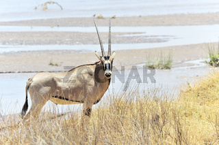 Oryx Antilope am Fluss