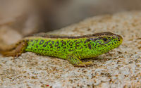 Sand lizard 'Lacerta agilis'