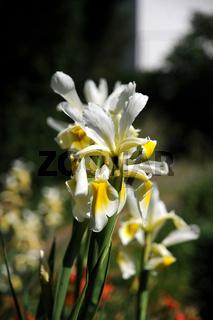 Iris spuria ssp. ochroleuca, Steppen-Iris