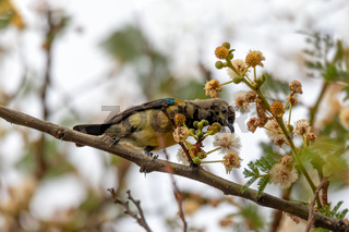 bird variable sunbird, Ethiopia Africa safari wildlife