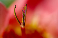 Stamens and stigma of a red Moraea cultivar from South Africa