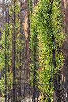 Trees with new leaf growth after fire