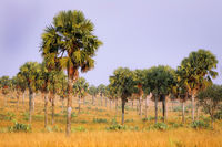 Landscape with palms at Murchison Falls National Park Uganda