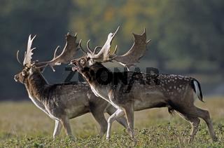 Damhirsche - (Ritual vor dem Kampf) / Fallow Deer - (Ritual in front of the fight) / Dama dama (dama) - (Cervus dama)