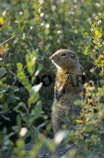 Arktisches Erdhoernchen sitzt aufrecht  beobachtet aufmerksam die Umgebung - (Arktischer Ziesel - Parry-Ziesel) / Arctic Ground Squirrel sitting upright  observing alert the environment - (Parka Squirrel) / Spermophilus parryii - Urocitellus parryii - (Ci