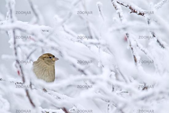 House Sparrow female bird in winter