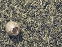 Brown blue sprinkled eggs fallen from nest. Parents blackbird thrown down cold egg