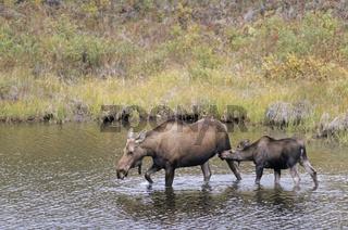 Elchkuh saeugt Kalb in einem Tundrasee - (Alaska-Elch) / Cow Moose lactating calf in a tundra lake - (Alaska Moose) / Alces alces - Alces alces (alces)