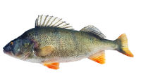 Perch Perca fluviatilis released with raised dorsal fin