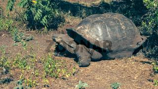 a large giant galapagos tortoise feeding at isla santa cruz in the galapagos