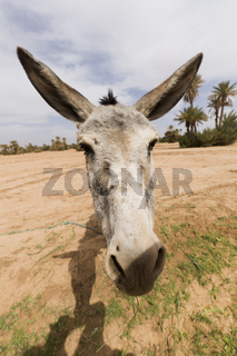 Portrait of a donkey in M'Hamid El Ghizlane.