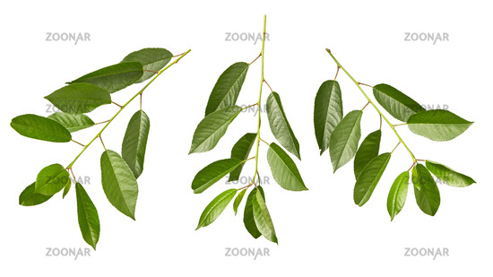Cherry twigs of fresh natural organic green leaves on a white background.