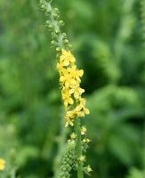 Odermenning; Agrimonia; Eupatoria